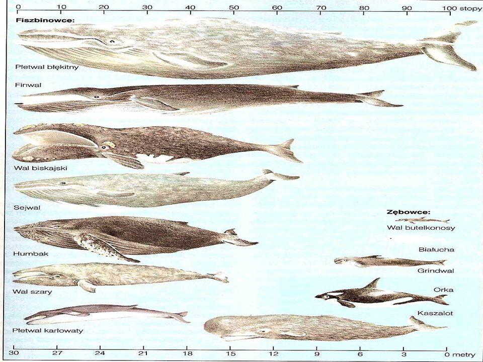 Gatunki poławiane: Kaszalot Kaszalot Płetwal błękitny Płetwal błękitny Finwal Finwal Humbak Humbak Wal biskajski Wal biskajski Wal grenlandzki Wal gre