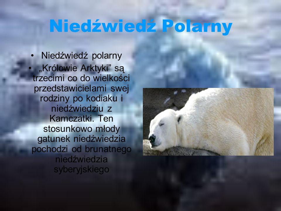 Niedźwiedź Polarny Niedźwiedź polarny Królowie Arktyki są trzecimi co do wielkości przedstawicielami swej rodziny po kodiaku i niedźwiedziu z Kamczatki.