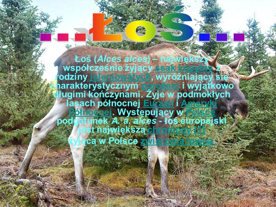 Lis Polarny Lis polarny, piesiec (Vulpes lagopus) - ssak z rodziny psowatych, występujący na obszarach na północ od kręgu polarnego.Lis polarny, piesiec (Vulpes lagopus) - ssak z rodziny psowatych, występujący na obszarach na północ od kręgu polarnego.ssak psowatychkręgu polarnegossak psowatychkręgu polarnego Lisy te można spotkać zarówno nad morzem, w dolinach, jak i wysoko na grzbietach górskich.