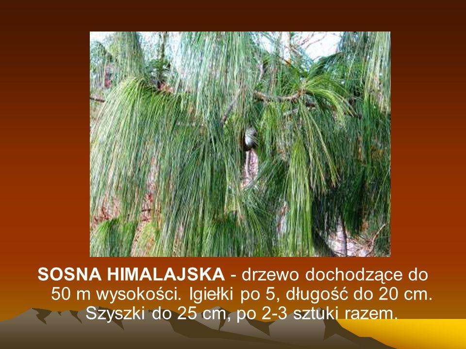 SOSNA HIMALAJSKA - drzewo dochodzące do 50 m wysokości. Igiełki po 5, długość do 20 cm. Szyszki do 25 cm, po 2-3 sztuki razem.