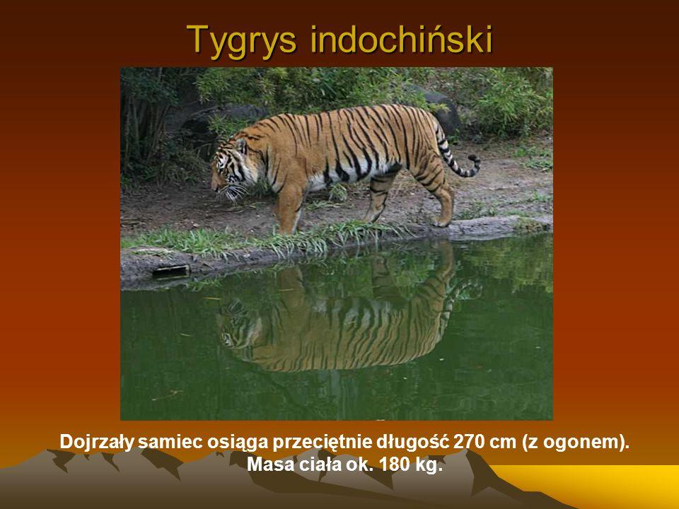 Tygrys indochiński Dojrzały samiec osiąga przeciętnie długość 270 cm (z ogonem). Masa ciała ok. 180 kg.