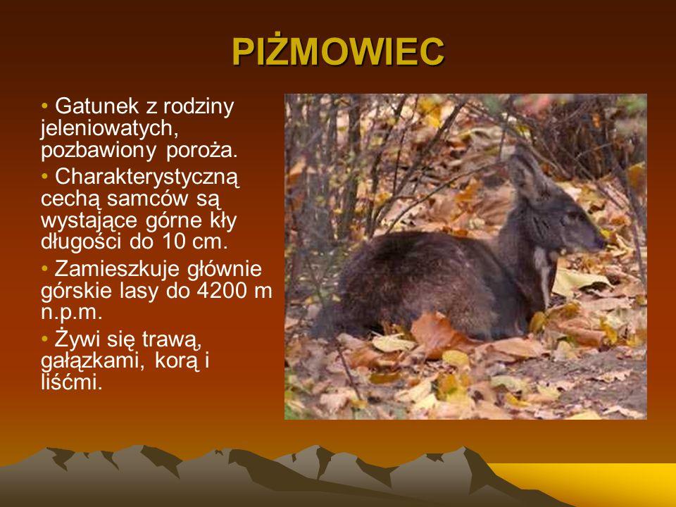 PIŻMOWIEC Gatunek z rodziny jeleniowatych, pozbawiony poroża. Charakterystyczną cechą samców są wystające górne kły długości do 10 cm. Zamieszkuje głó