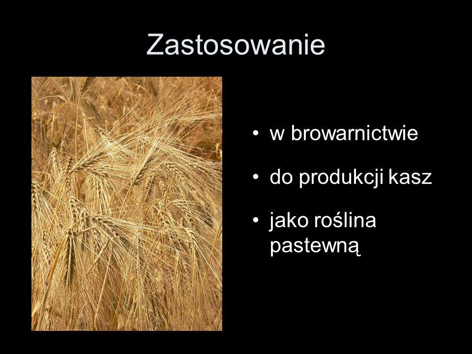 w browarnictwie do produkcji kasz jako roślina pastewną Zastosowanie