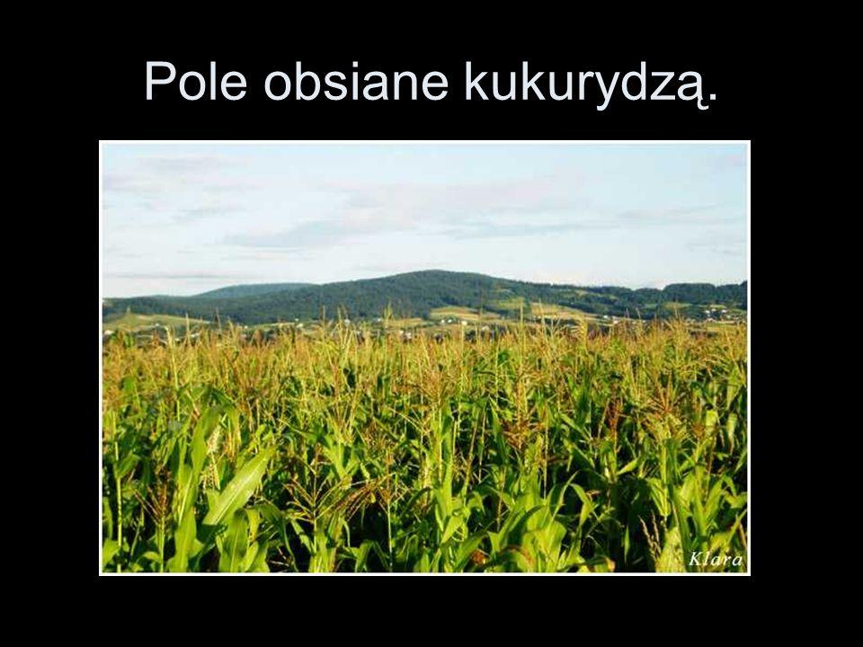 Pole obsiane kukurydzą.