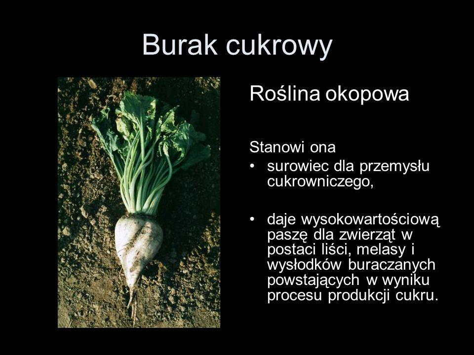 Burak cukrowy Roślina okopowa Stanowi ona surowiec dla przemysłu cukrowniczego, daje wysokowartościową paszę dla zwierząt w postaci liści, melasy i wy