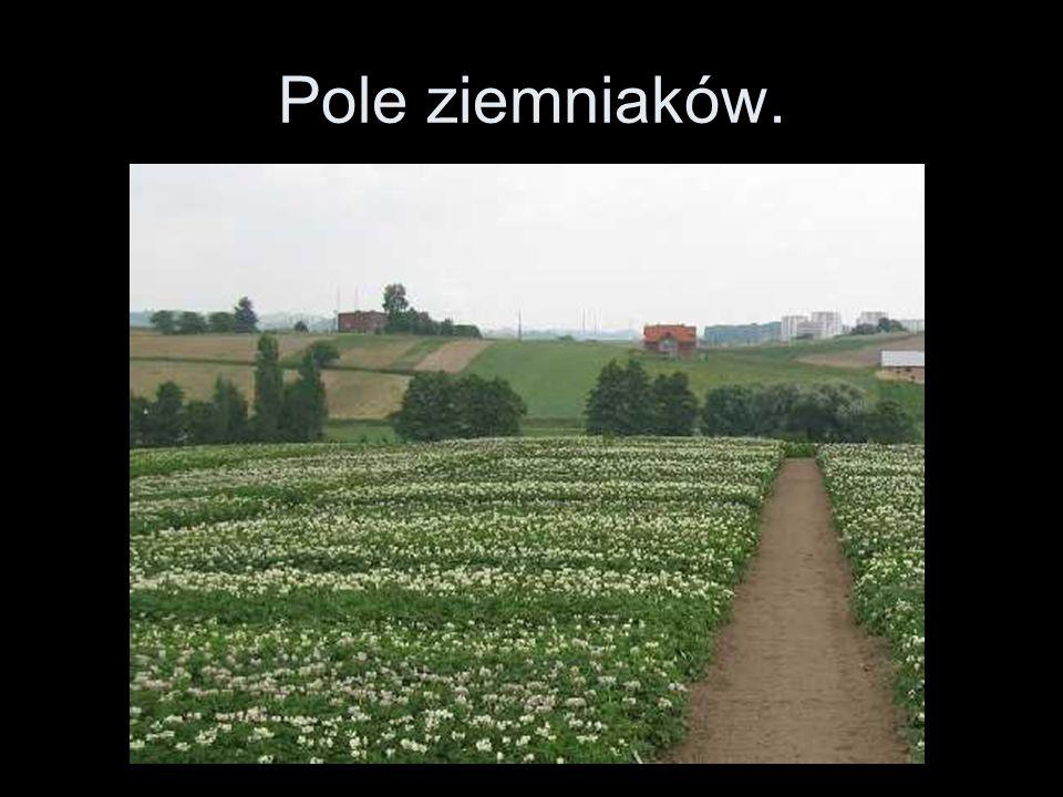 Pole ziemniaków.