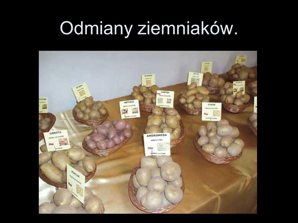 Odmiany ziemniaków.