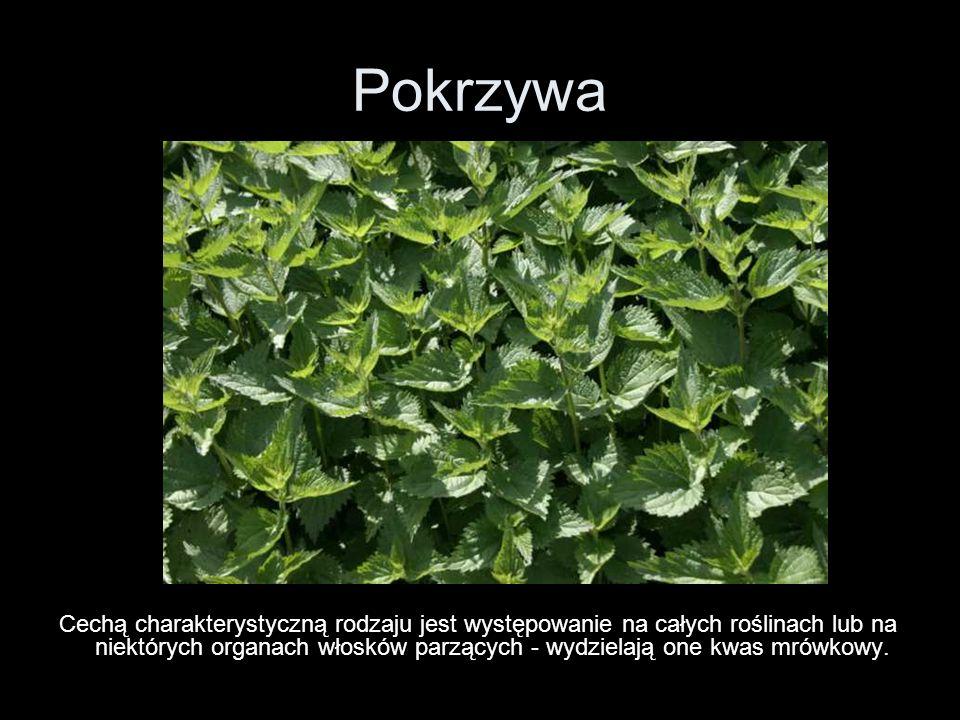 Pokrzywa Cechą charakterystyczną rodzaju jest występowanie na całych roślinach lub na niektórych organach włosków parzących - wydzielają one kwas mrów