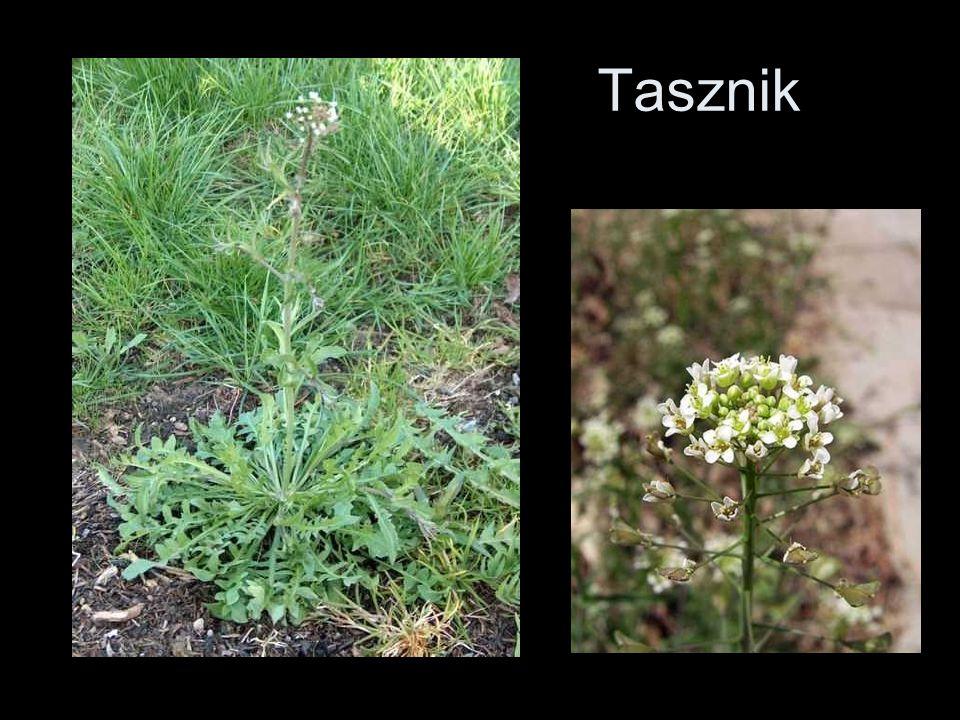 Tasznik