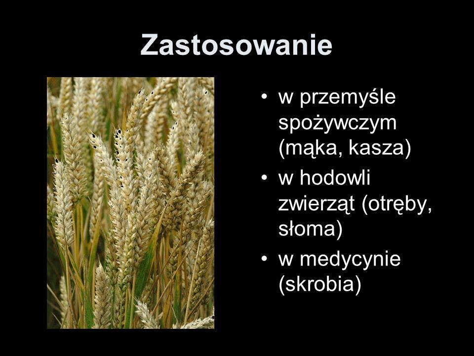 Zastosowanie w przemyśle spożywczym (mąka, kasza) w hodowli zwierząt (otręby, słoma) w medycynie (skrobia)