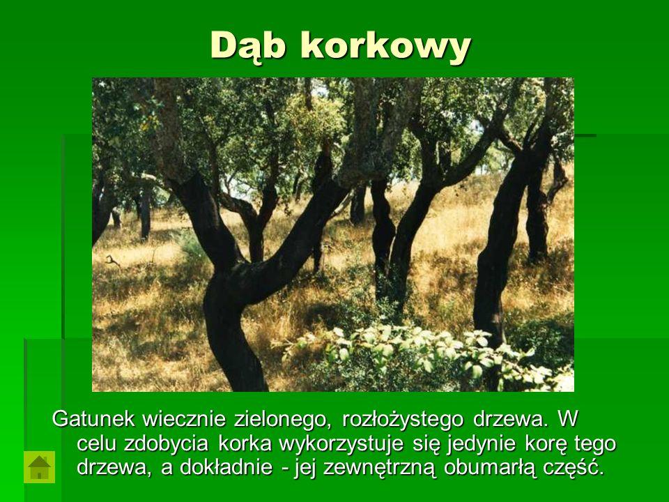 Dąb korkowy Gatunek wiecznie zielonego, rozłożystego drzewa. W celu zdobycia korka wykorzystuje się jedynie korę tego drzewa, a dokładnie - jej zewnęt