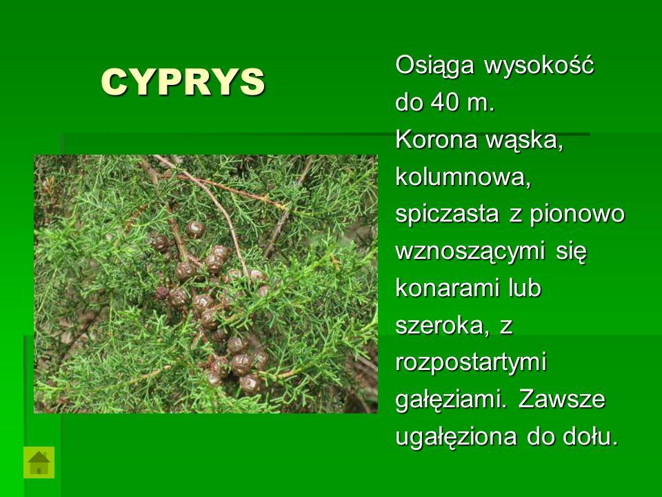 CYPRYS CYPRYS Osiąga wysokość do 40 m. Korona wąska, kolumnowa, spiczasta z pionowo wznoszącymi się konarami lub szeroka, z rozpostartymi gałęziami. Z