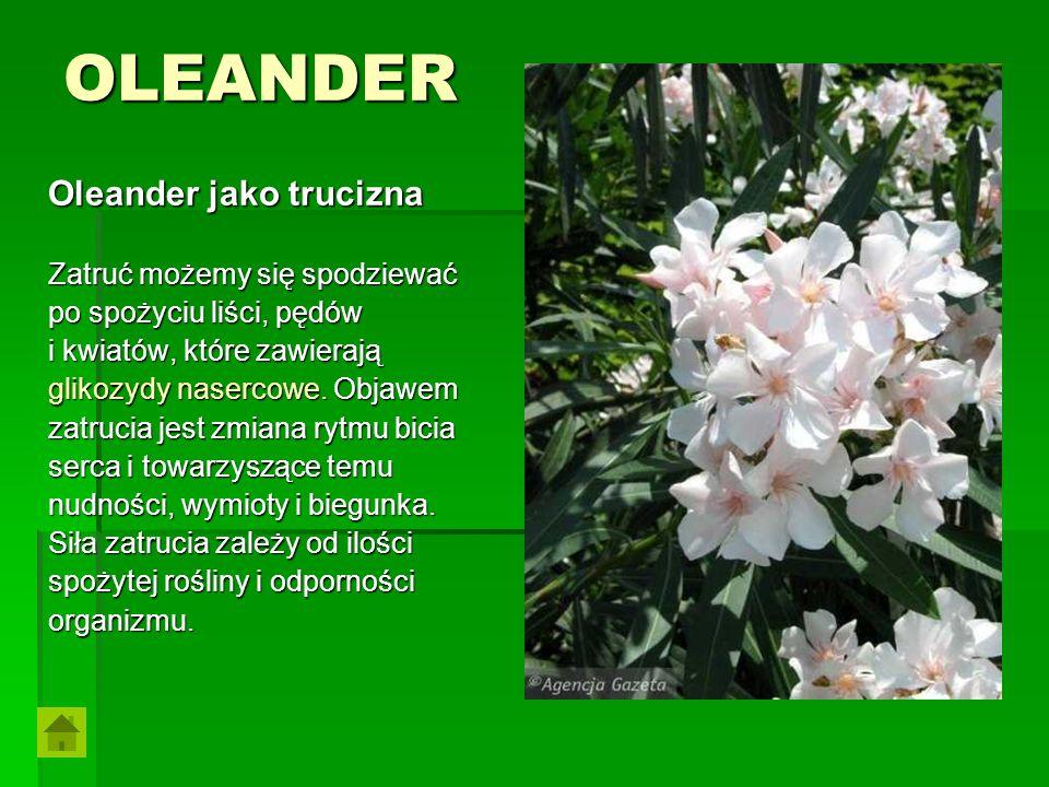 OLEANDER Oleander jako trucizna Zatruć możemy się spodziewać po spożyciu liści, pędów i kwiatów, które zawierają glikozydy nasercowe. Objawem zatrucia