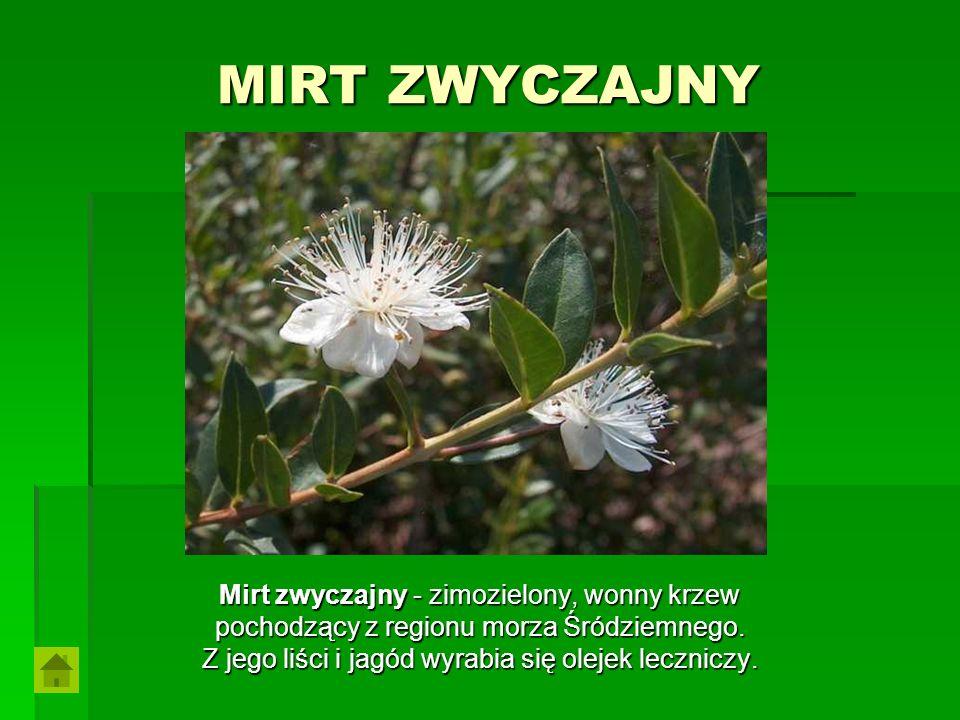 MIRT ZWYCZAJNY Mirt zwyczajny - zimozielony, wonny krzew pochodzący z regionu morza Śródziemnego. Z jego liści i jagód wyrabia się olejek leczniczy.