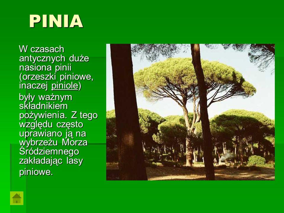 PINIA PINIA W czasach antycznych duże nasiona pinii (orzeszki piniowe, inaczej piniole) W czasach antycznych duże nasiona pinii (orzeszki piniowe, ina