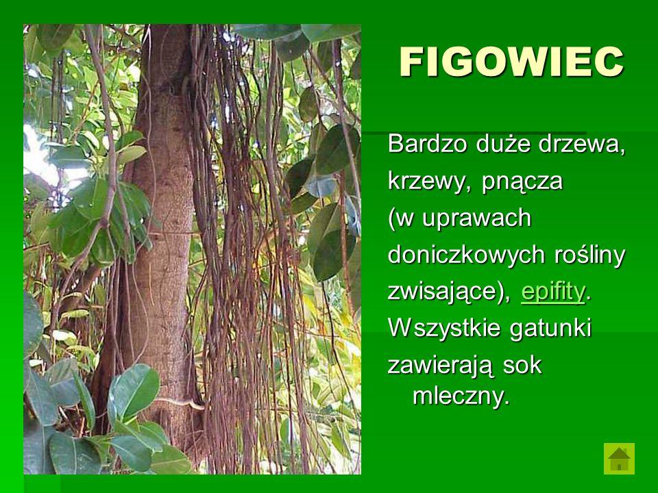 FIGOWIEC Bardzo duże drzewa, krzewy, pnącza (w uprawach doniczkowych rośliny zwisające), epifity. epifity Wszystkie gatunki zawierają sok mleczny.