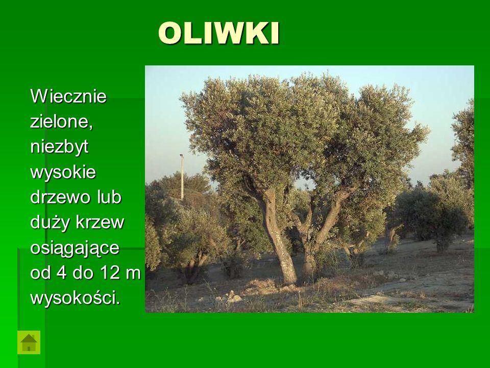 OLIWKI Wieczniezielone,niezbytwysokie drzewo lub duży krzew osiągające od 4 do 12 m wysokości.