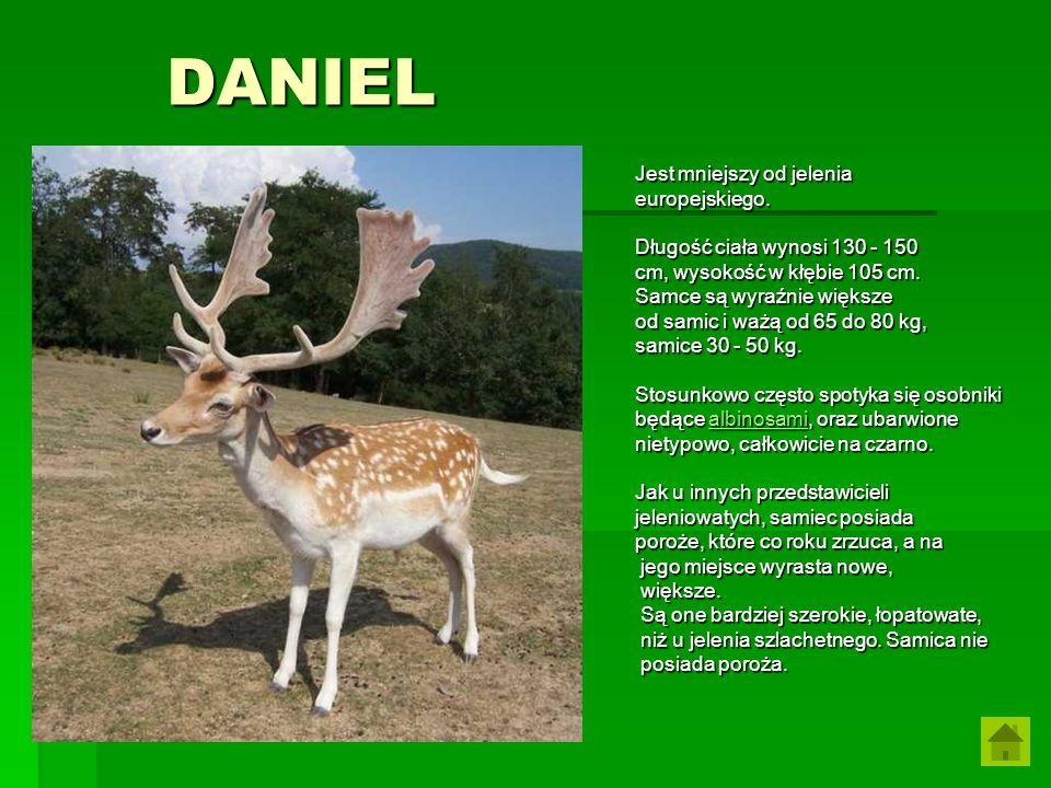 DANIEL Jest mniejszy od jelenia europejskiego. Długość ciała wynosi 130 - 150 cm, wysokość w kłębie 105 cm. Samce są wyraźnie większe od samic i ważą