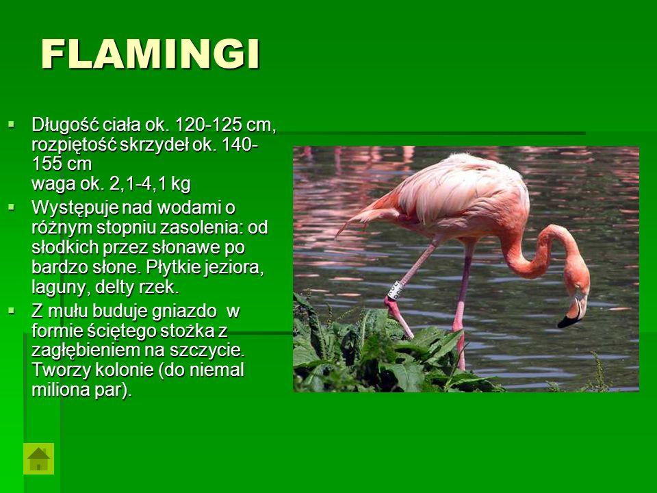 FLAMINGI Długość ciała ok. 120-125 cm, rozpiętość skrzydeł ok. 140- 155 cm waga ok. 2,1-4,1 kg Długość ciała ok. 120-125 cm, rozpiętość skrzydeł ok. 1
