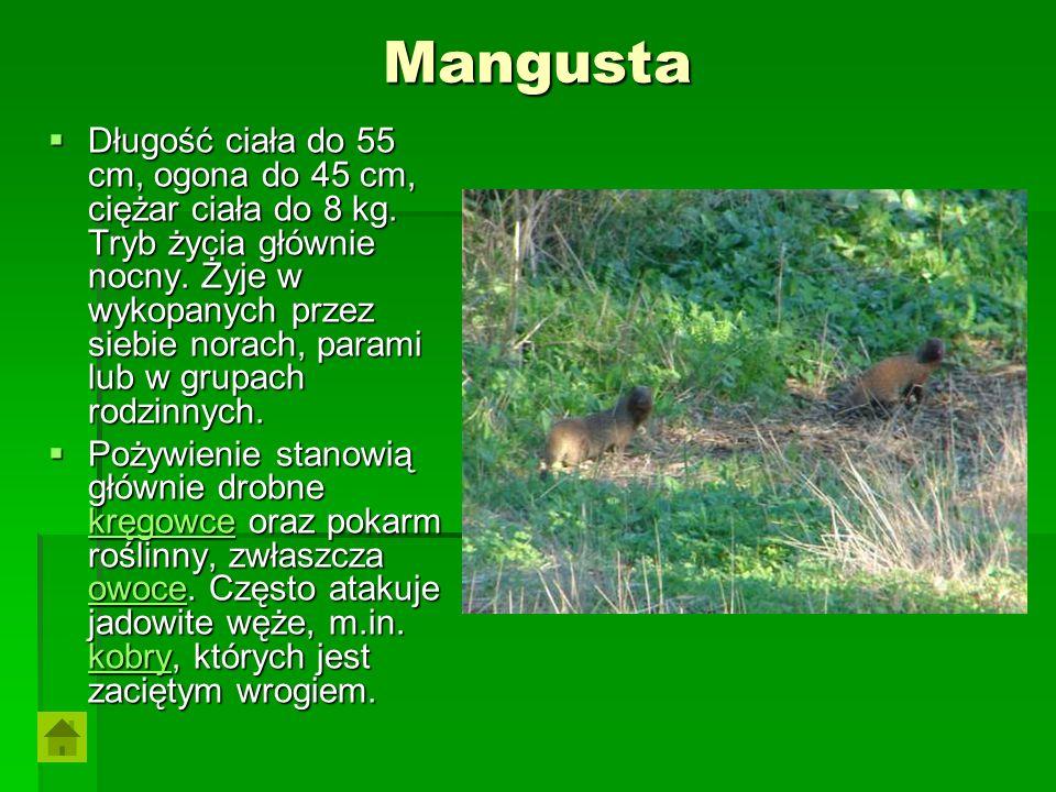 Mangusta Długość ciała do 55 cm, ogona do 45 cm, ciężar ciała do 8 kg. Tryb życia głównie nocny. Żyje w wykopanych przez siebie norach, parami lub w g