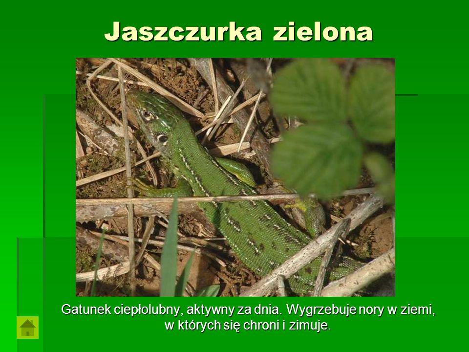 Jaszczurka zielona Gatunek ciepłolubny, aktywny za dnia. Wygrzebuje nory w ziemi, w których się chroni i zimuje.
