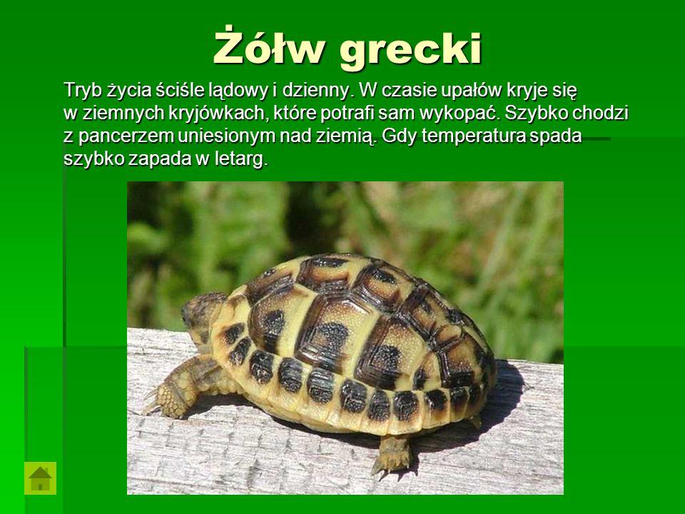 Żółw grecki Tryb życia ściśle lądowy i dzienny. W czasie upałów kryje się w ziemnych kryjówkach, które potrafi sam wykopać. Szybko chodzi z pancerzem