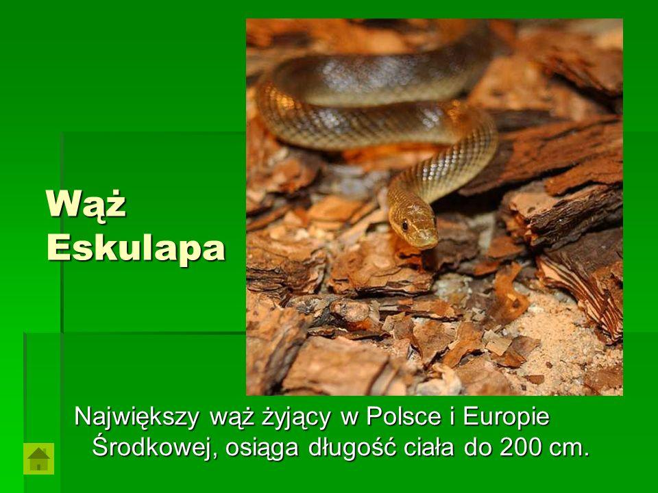Wąż Eskulapa Największy wąż żyjący w Polsce i Europie Środkowej, osiąga długość ciała do 200 cm. Największy wąż żyjący w Polsce i Europie Środkowej, o