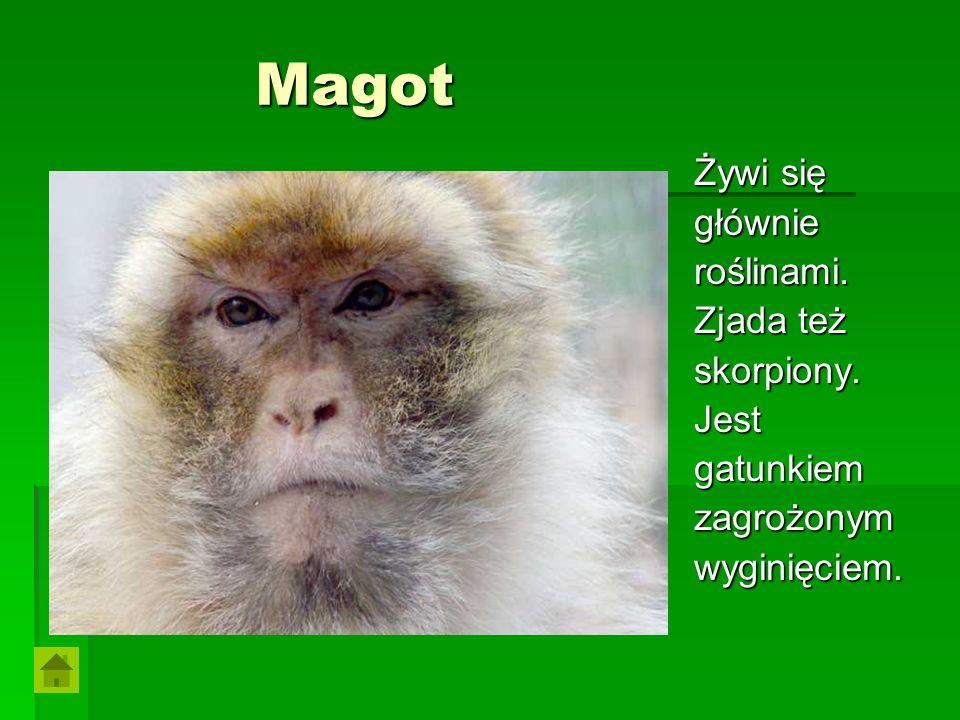 Magot Magot Żywi się głównieroślinami. Zjada też skorpiony.Jestgatunkiemzagrożonymwyginięciem.