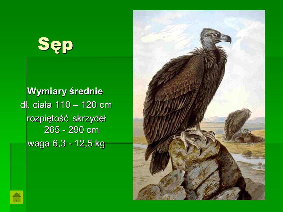 Sęp Wymiary średnie Wymiary średnie dł. ciała 110 – 120 cm rozpiętość skrzydeł 265 - 290 cm waga 6,3 - 12,5 kg
