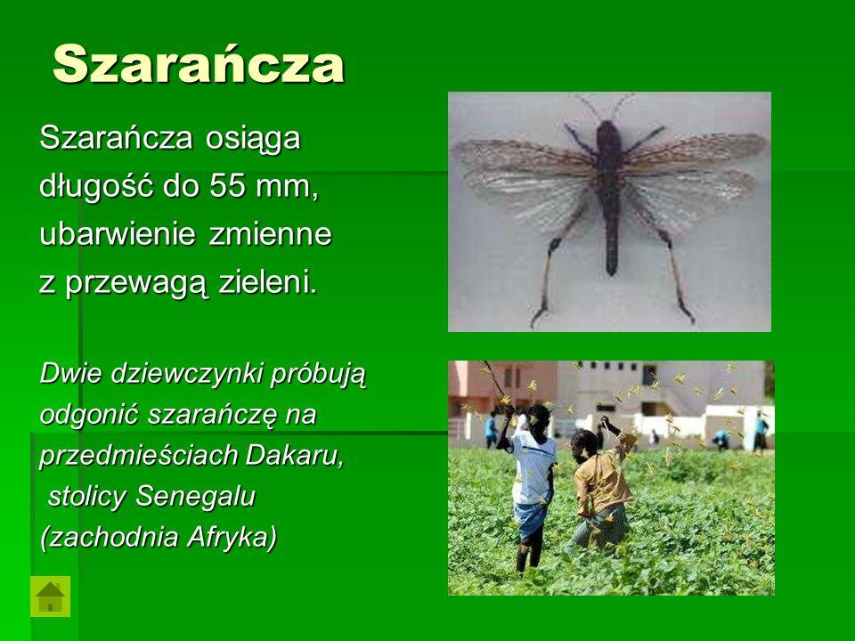 Szarańcza Szarańcza osiąga długość do 55 mm, ubarwienie zmienne z przewagą zieleni. Dwie dziewczynki próbują odgonić szarańczę na przedmieściach Dakar