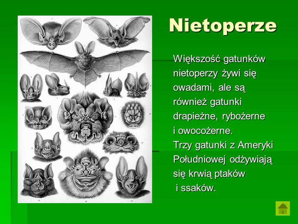 Nietoperze Większość gatunków nietoperzy żywi się owadami, ale są również gatunki drapieżne, rybożerne i owocożerne. Trzy gatunki z Ameryki Południowe