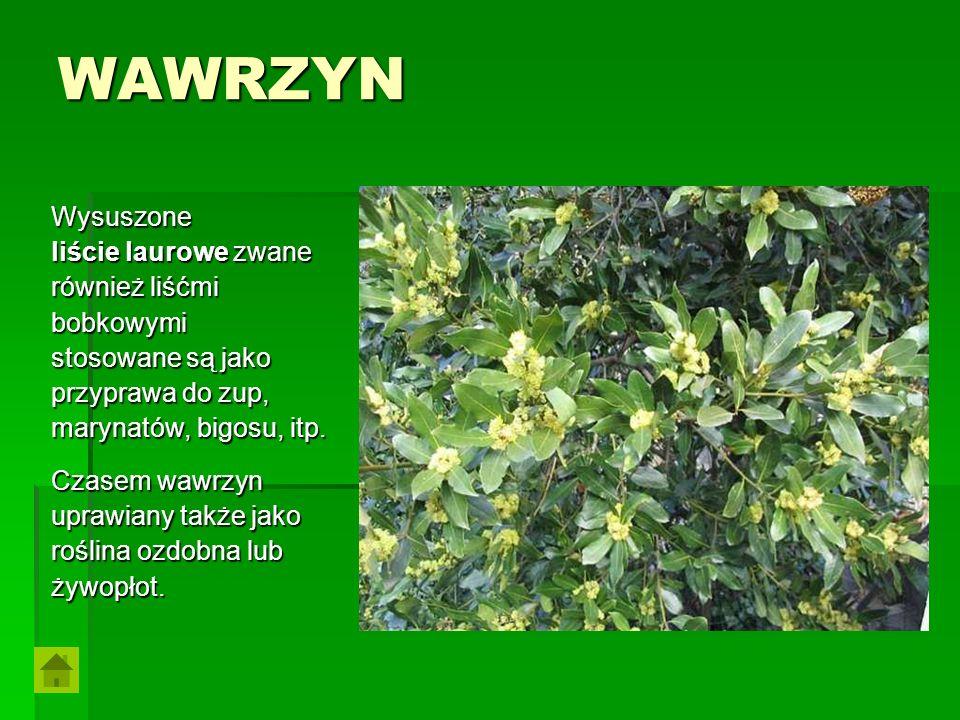 WAWRZYN Wysuszone liście laurowe zwane również liśćmi bobkowymi stosowane są jako przyprawa do zup, marynatów, bigosu, itp. Czasem wawrzyn uprawiany t