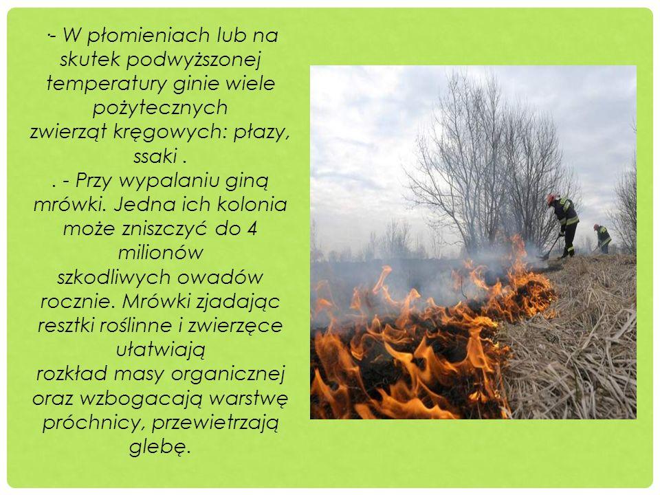 ·- W płomieniach lub na skutek podwyższonej temperatury ginie wiele pożytecznych zwierząt kręgowych: płazy, ssaki.. - Przy wypalaniu giną mrówki. Jedn