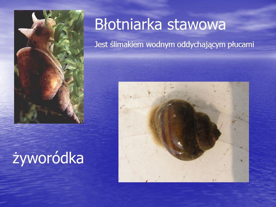 Błotniarka stawowa żyworódka Jest ślimakiem wodnym oddychającym płucami