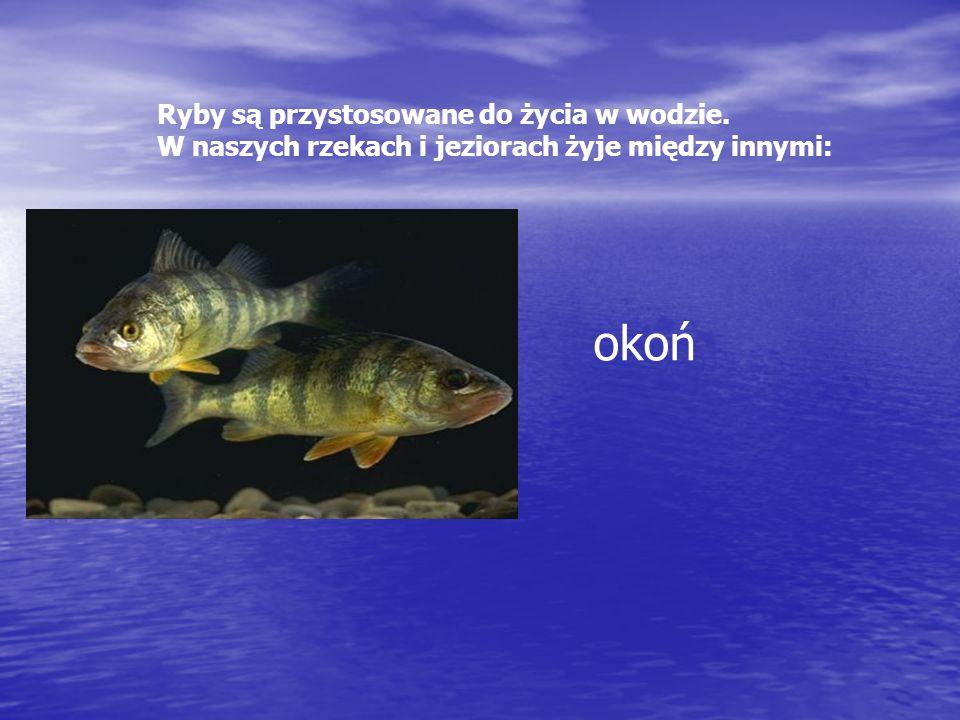 Ryby są przystosowane do życia w wodzie. W naszych rzekach i jeziorach żyje między innymi: okoń