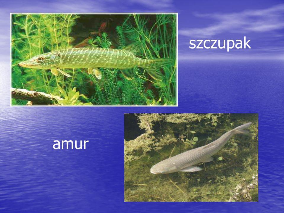Ryby składają jaja zwane ikrą Większość ryb nie opiekuje się swoim potomstwem