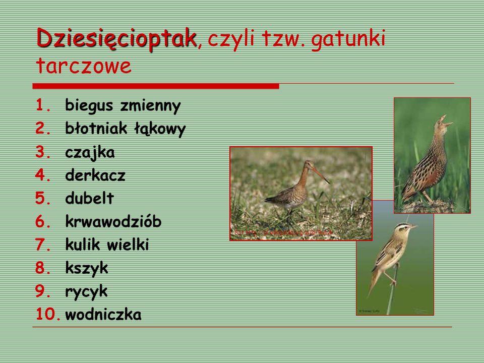 Dziesięcioptak Dziesięcioptak, czyli tzw. gatunki tarczowe 1.biegus zmienny 2.błotniak łąkowy 3.czajka 4.derkacz 5.dubelt 6.krwawodziób 7.kulik wielki