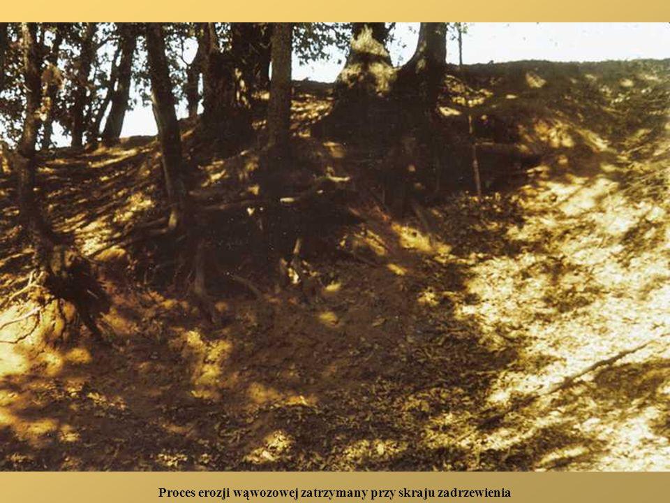 Proces erozji wąwozowej zatrzymany przy skraju zadrzewienia