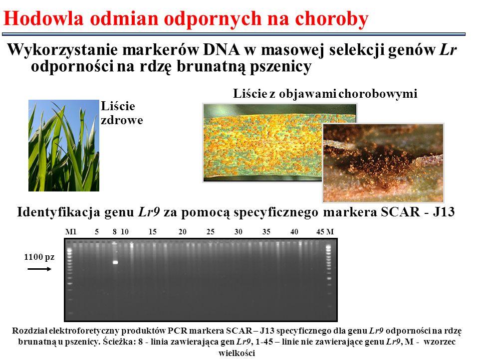Rozdział elektroforetyczny produktów PCR markera SCAR – J13 specyficznego dla genu Lr9 odporności na rdzę brunatną u pszenicy. Ścieżka: 8 - linia zawi