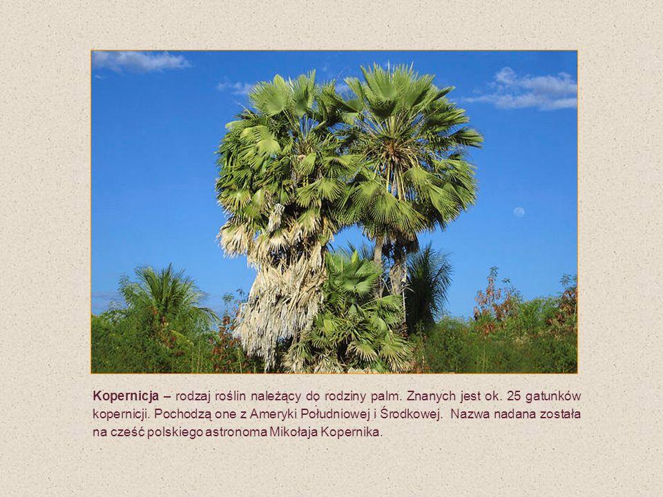 : Kopernicja – rodzaj roślin należący do rodziny palm. Znanych jest ok. 25 gatunków kopernicji. Pochodzą one z Ameryki Południowej i Środkowej. Nazwa