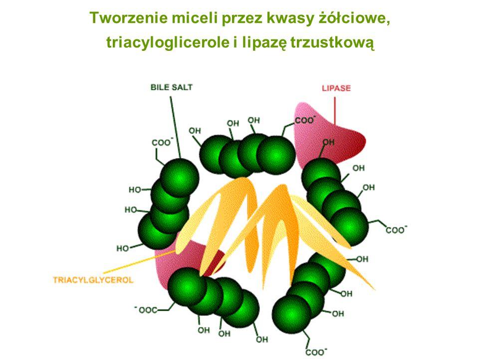 Tworzenie miceli przez kwasy żółciowe, triacyloglicerole i lipazę trzustkową