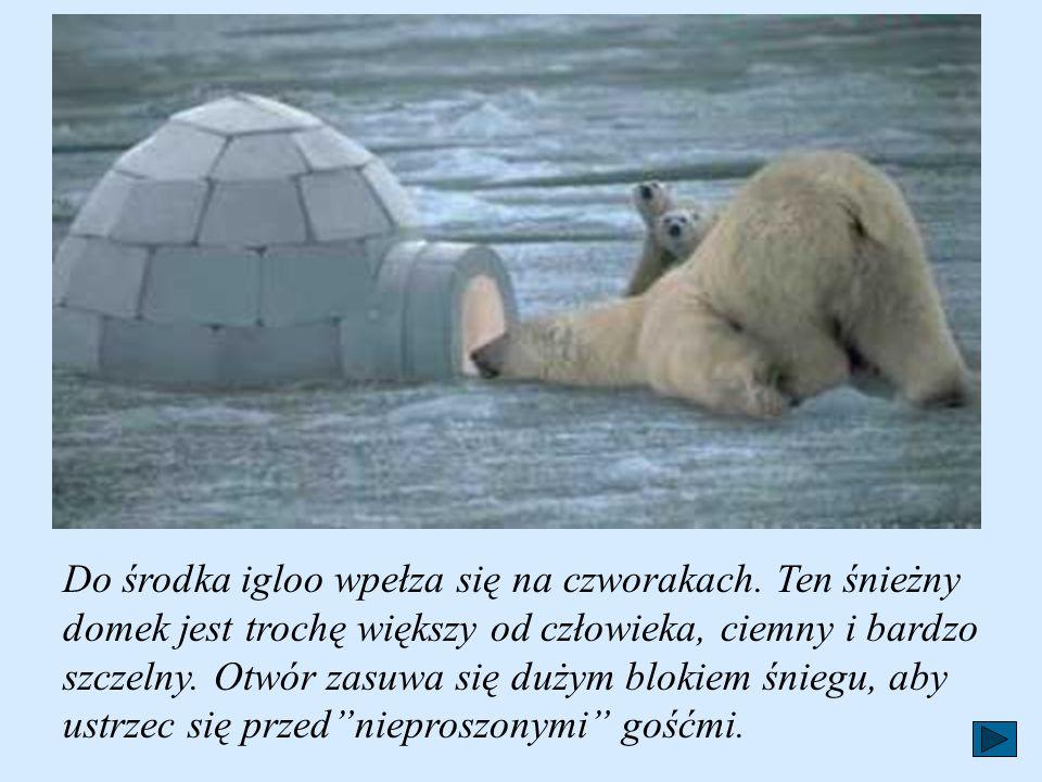 Do budowy igloo potrzebne są wielkie bloki stwardniałego śniegu, które mężczyźni wycinają za pomocą noży zrobionych z kości wieloryba.Eskimos bez obli
