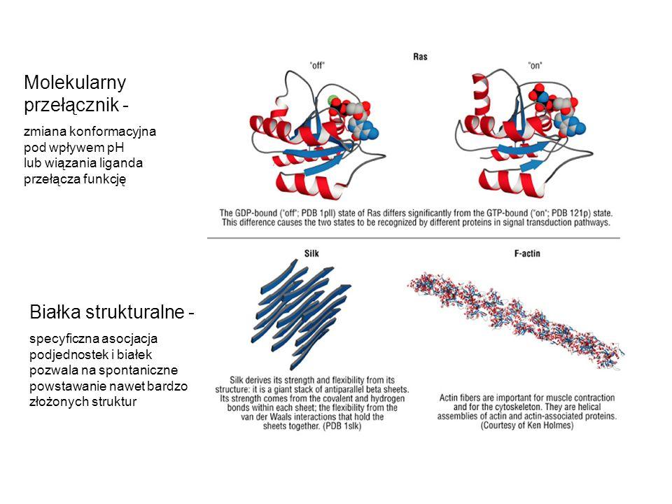 Molekularny przełącznik - zmiana konformacyjna pod wpływem pH lub wiązania liganda przełącza funkcję Białka strukturalne - specyficzna asocjacja podje