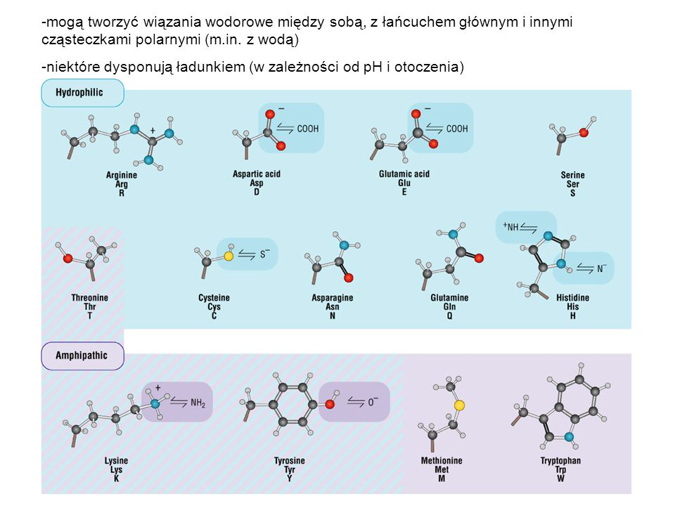 -mogą tworzyć wiązania wodorowe między sobą, z łańcuchem głównym i innymi cząsteczkami polarnymi (m.in. z wodą) -niektóre dysponują ładunkiem (w zależ