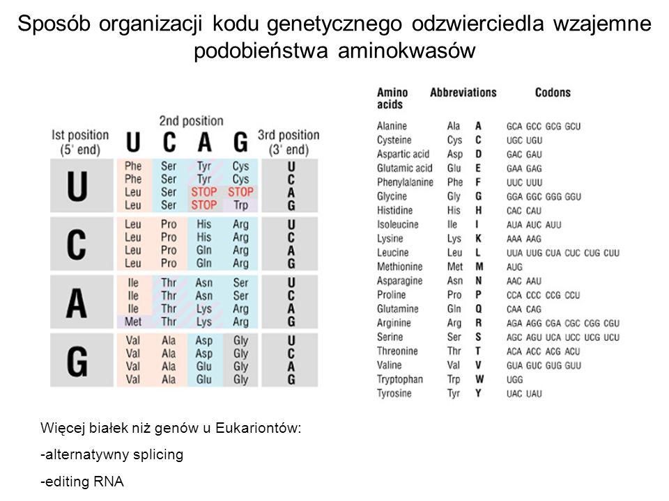 Sposób organizacji kodu genetycznego odzwierciedla wzajemne podobieństwa aminokwasów Więcej białek niż genów u Eukariontów: -alternatywny splicing -ed