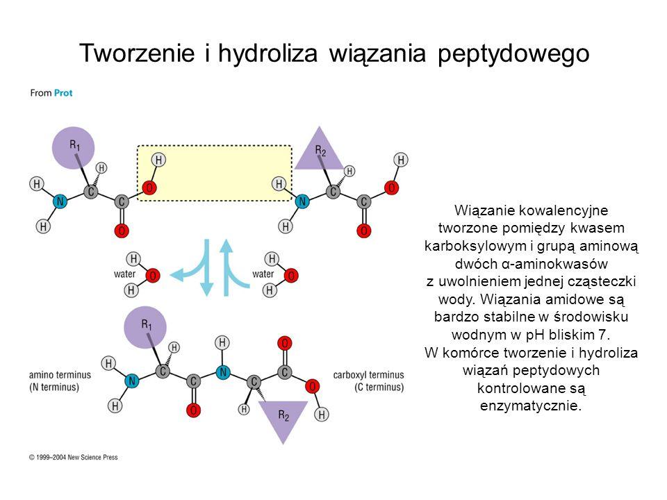 Tworzenie i hydroliza wiązania peptydowego Wiązanie kowalencyjne tworzone pomiędzy kwasem karboksylowym i grupą aminową dwóch α-aminokwasów z uwolnien