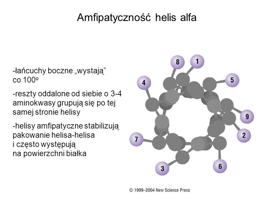 Amfipatyczność helis alfa -łańcuchy boczne wystają co 100 o -reszty oddalone od siebie o 3-4 aminokwasy grupują się po tej samej stronie helisy -helis