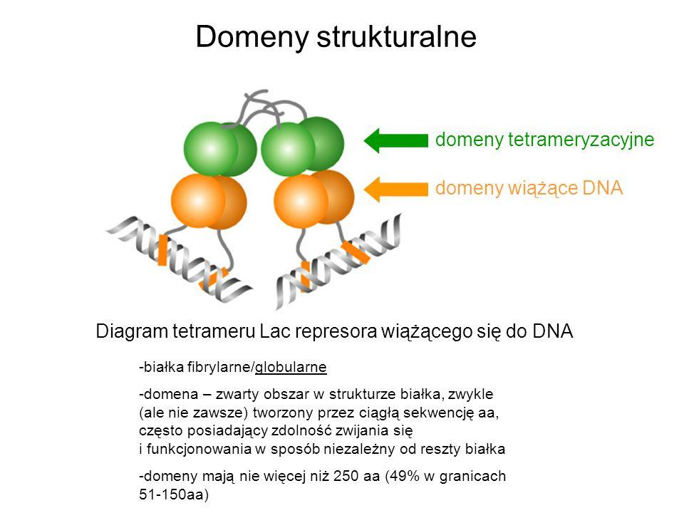 Diagram tetrameru Lac represora wiążącego się do DNA Domeny strukturalne -białka fibrylarne/globularne -domena – zwarty obszar w strukturze białka, zw
