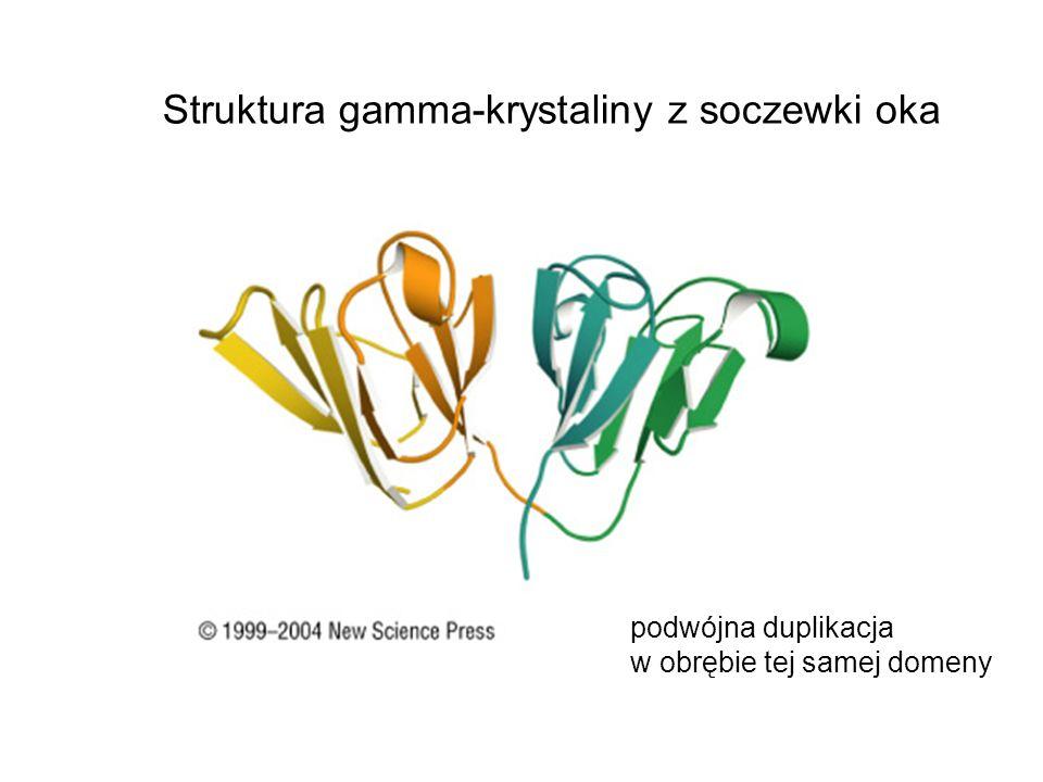 Struktura gamma-krystaliny z soczewki oka podwójna duplikacja w obrębie tej samej domeny
