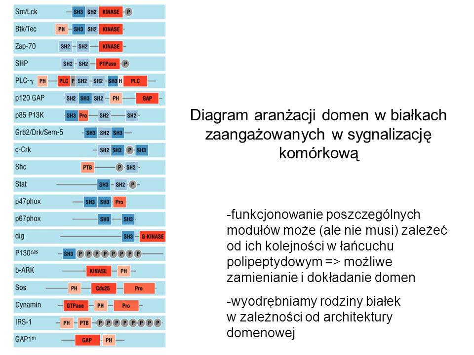 Diagram aranżacji domen w białkach zaangażowanych w sygnalizację komórkową -funkcjonowanie poszczególnych modułów może (ale nie musi) zależeć od ich k